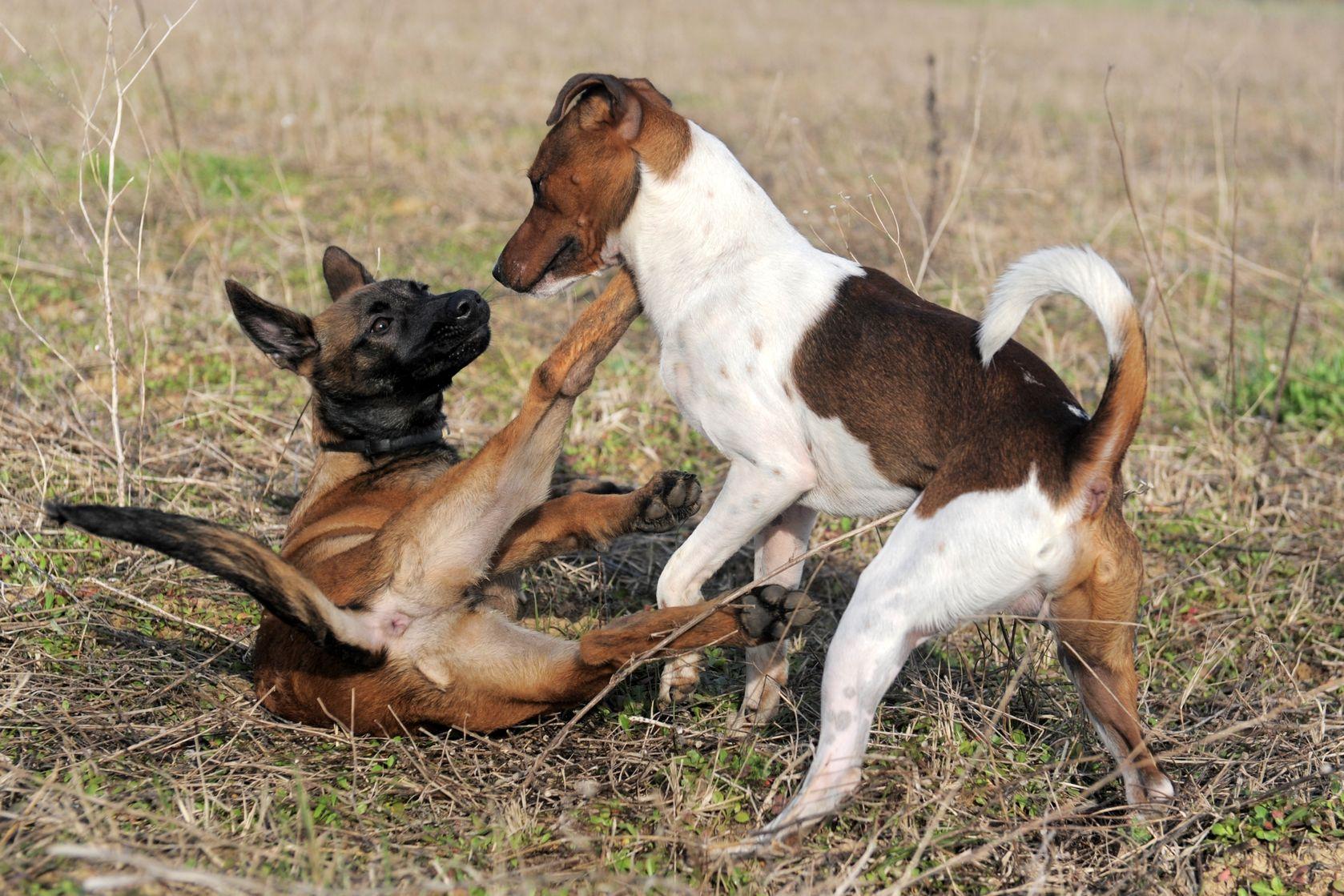 Доминантноеповедение у собак